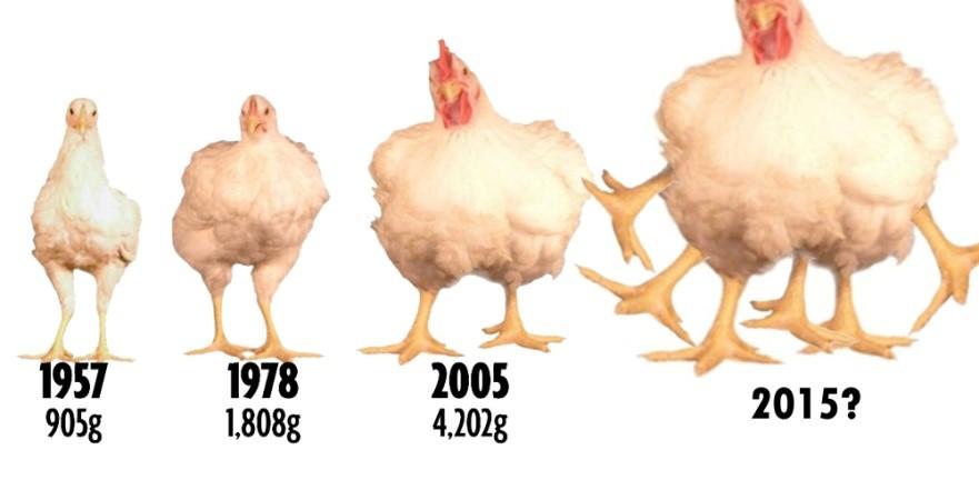 """Képtalálat a következőre: """"rántani való csirkék az 50-es években"""""""